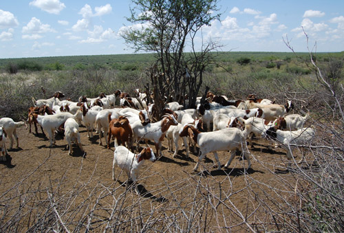 Goats donated to San bushmen 2009 - 2012